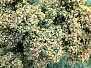How to grow quinoa