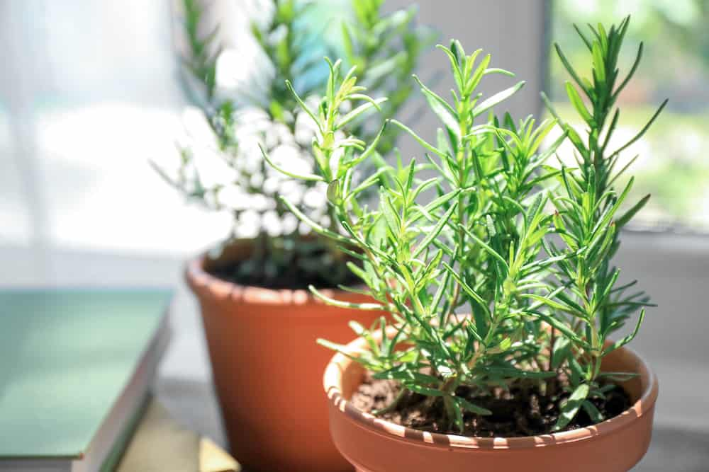 A Beginner's Guide to Growing a Rosemary Plant