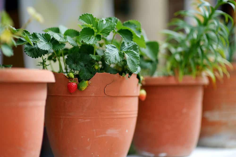 strawberry planters pots
