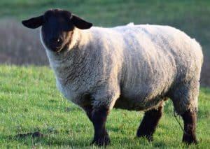 suffolk sheep appearance