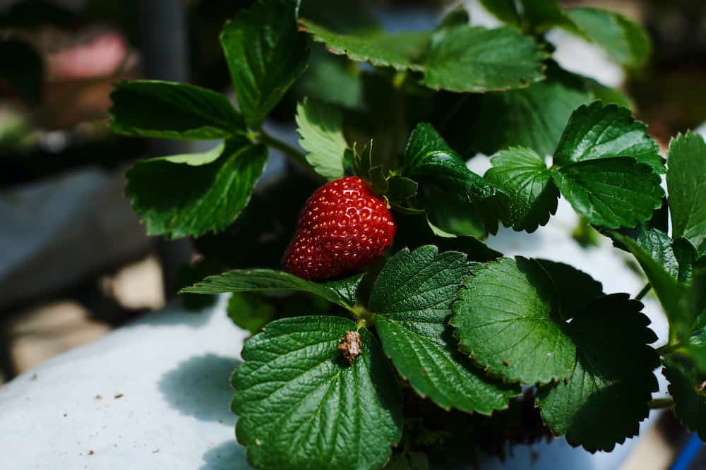 what fruits can be grown hydroponically