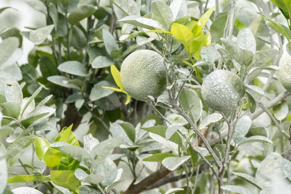 what garden plants need lime