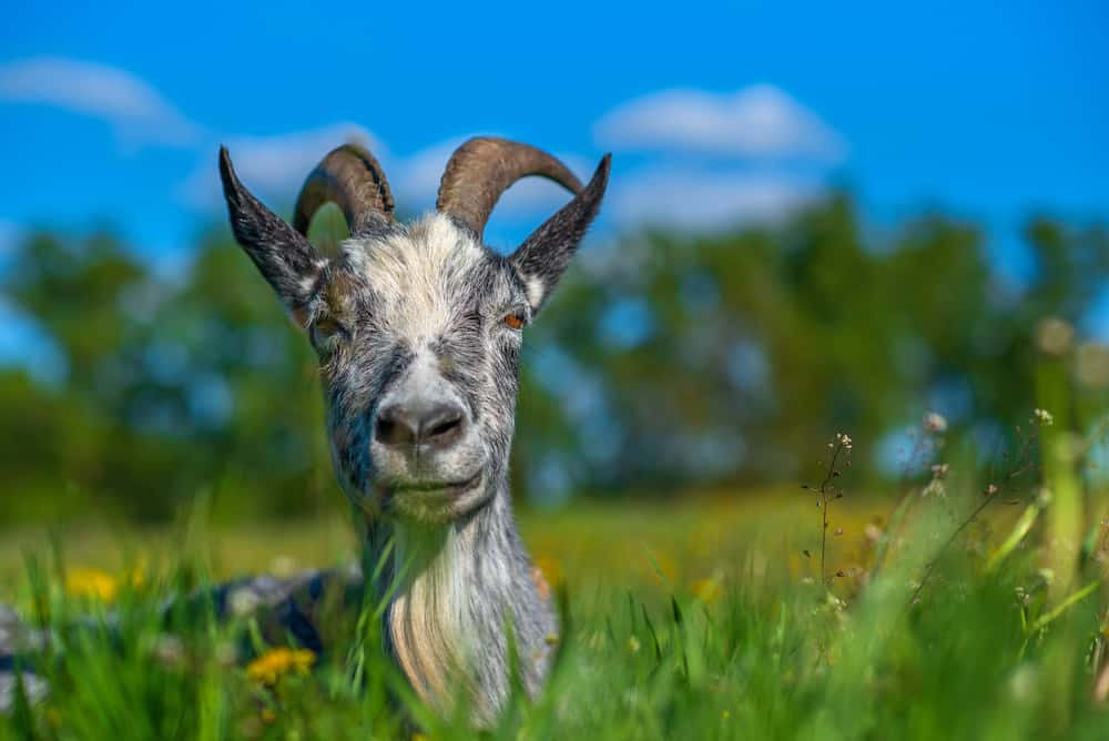 what is a wether goat