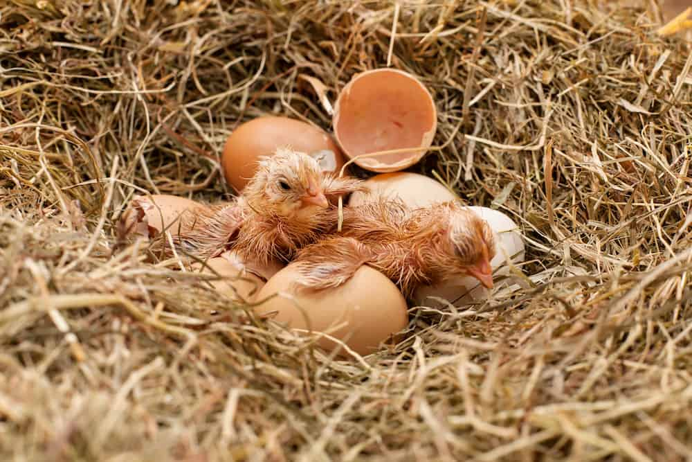 what to feed baby chickens after hatching