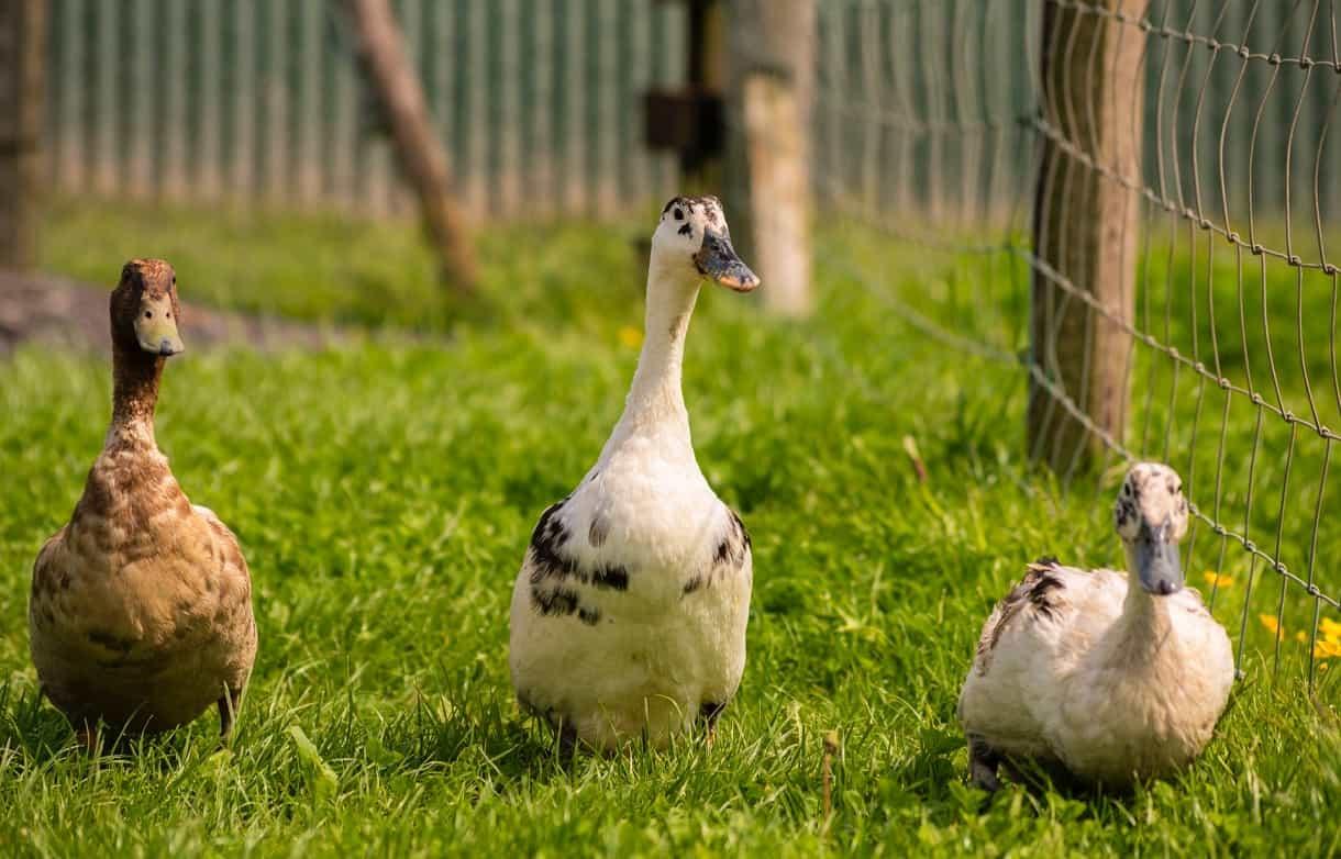 which duck breeds are best